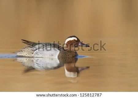 A Garganey Duck (Anas querquedula) - stock photo