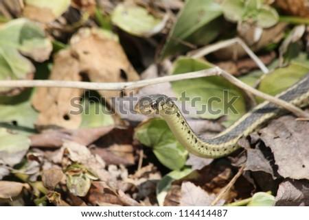 A garter snake among leaves. - stock photo