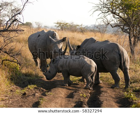 A gathering of a male, female and calf rhinos. The white (or square-lipped) rhinoceros (ceratotherium simum) is a megafauna species. Behind the elephant, it is the most massive remaining land animal. - stock photo