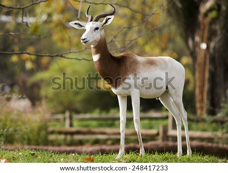 A gazelle strikes a dramatic pose - stock photo