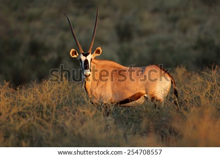 A gemsbok antelope (Oryx gazella) in early morning light, Kalahari desert, South Africa - stock photo