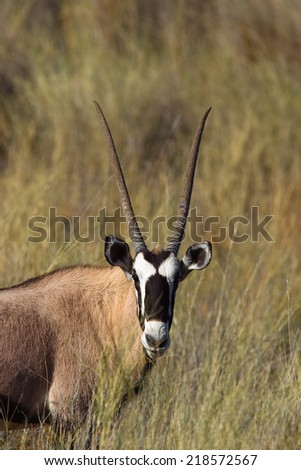 A Gemsbok (Oryx gazella) head and shoulders, standing in the Kalahari desert grassland , in a blurred natural setting, South Africa - stock photo
