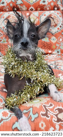 """A genuine Hairless Chinese Crested dog. Wears Gold Christmas Tinsel as a Fabulous Fashion Statement.  Chinese Crested dogs can birth both Hairless and Silky """"covered in fur"""" in the same litter.  - stock photo"""