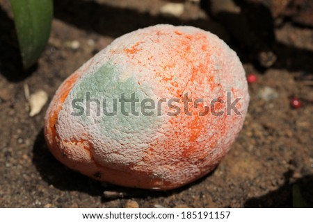 A genuine Moldy and rotting orange in a garden. Decomposition is an important part of the earth, breaking down organic material into its elements and minerals re-depositing them back into the soil. - stock photo