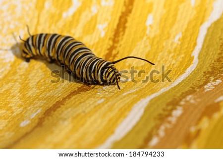 "A Genuine Monarch Butterfly Caterpillar ""Danaus plexippus""  - stock photo"