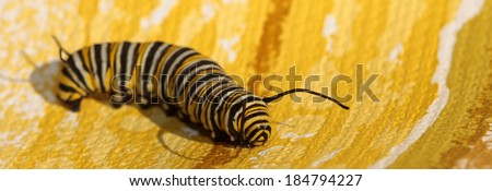 """A Genuine Monarch Butterfly Caterpillar """"Danaus plexippus"""" walks across a Psychedelic Yellow Wall Paper background. Monarch Butterflies are loved around the world by people young and old.   - stock photo"""