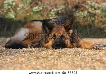 A German Shepherd dog laid down outside on gravel with her head on the ground. - stock photo