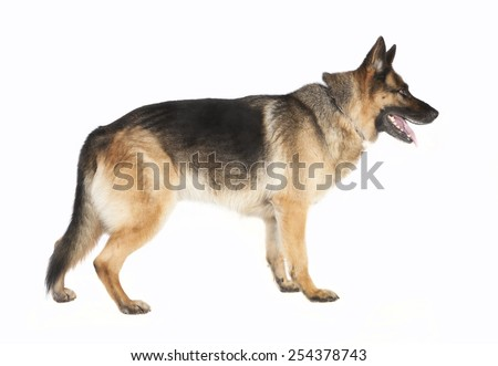 a German Shepherd standing by the side against white background - stock photo