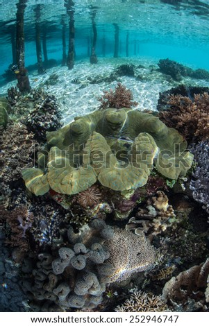A giant clam (Tridacna gigas) grows in shallow water near a pier in Raja Ampat, Indonesia. Giant clams are an important food source for many islanders throughout the Indo-Pacific region. - stock photo