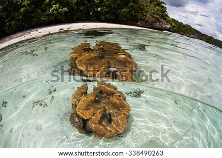 A giant clam (Tridacna gigas) grows on a sandy seafloor in Indonesia. This part of the tropical Pacific harbors spectacular marine biodiversity and beautiful underwater scenery. - stock photo