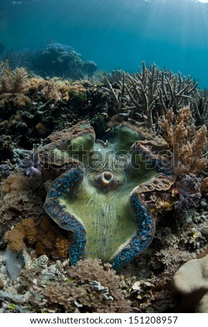 A Giant clam, Tridacna gigas, grows shallow, healthy coral reef in Raja Ampat, Indonesia. This equatorial region is known for its extremely high marine biological diversity. - stock photo