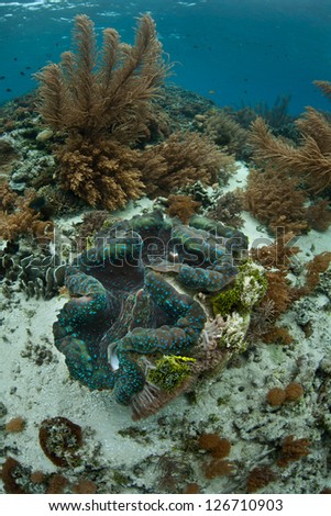 A Giant clam (Tridacna gigas) is an endangered species of bivalve found throughout the Indo-Pacific.  It can grow to hundreds of pounds in weight. - stock photo