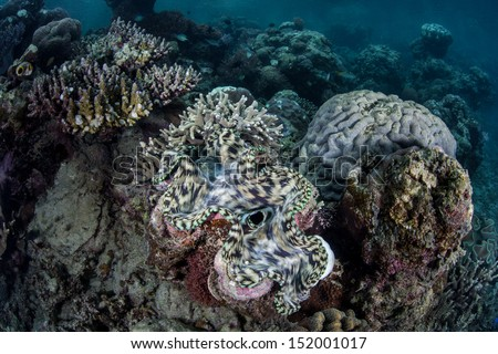 A giant clam (Tridacna squamosa) grows near the island of Misool in Raja Ampat, Indonesia.  This area is known for its spectacular marine biodiversity and great scuba diving. - stock photo