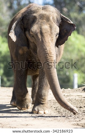 A giant elephant walking on a dirt path towards a watering hole - stock photo