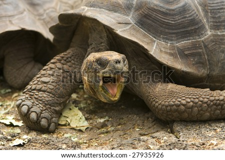 A Giant Galapagos tortoise,  found on the Galapagos Islands, Ecuador, South America - stock photo