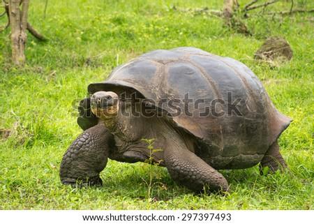 A giant Galapagos turtle, Galapagos islands, Ecuador, South America - stock photo