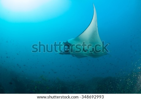 A giant manta ray swimming elegantly past a school of fish - stock photo
