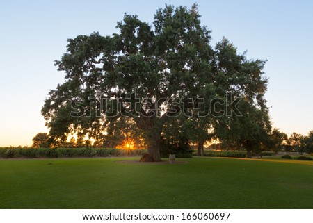 A giant oak tree sprawls over the landscape with a vineyard in the background as the sun sets.  - stock photo