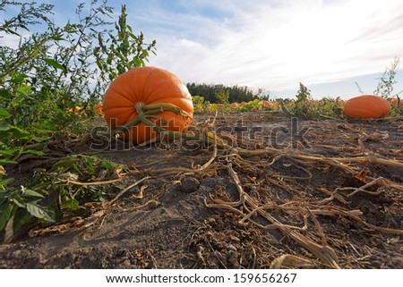 A giant pumpkin shown in the pumpkin patch with vines splayed across the ground still clinging to the pumpkin stem - stock photo