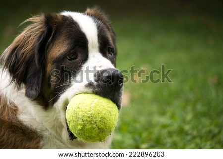 A giant St. Bernard dog plays in a grass yard with a tennis ball as a toy. - stock photo