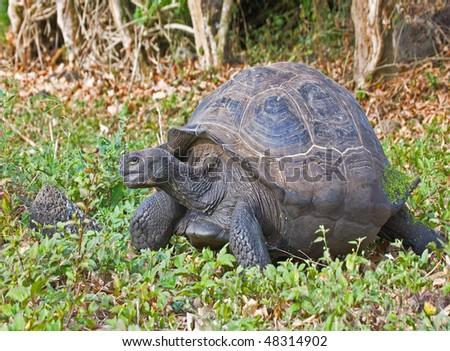 a giant tortoise walks around in isabella island, Galapagos - stock photo