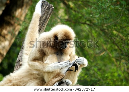 A gibbon in the zoo, Thailand - stock photo