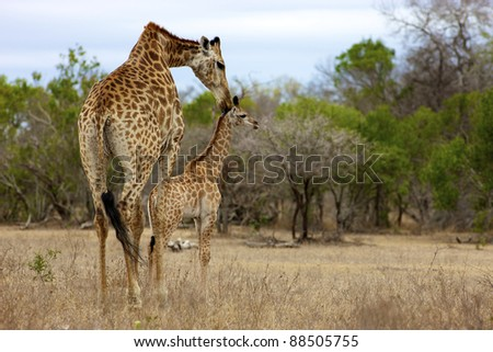 A Giraffe and her young, Kruger National Park - stock photo