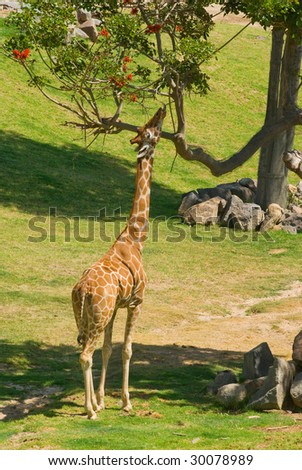 A giraffe eating from a tall tree - stock photo