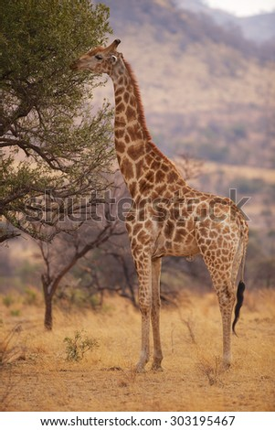 A giraffe eating from a tree - stock photo