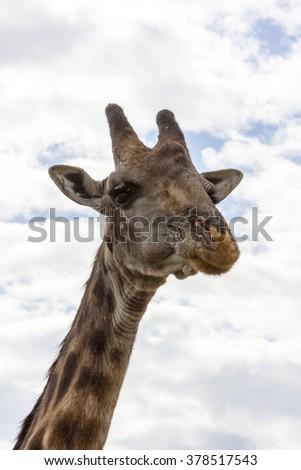 A giraffe in Serengeti Nat park.  Tanzania. - stock photo