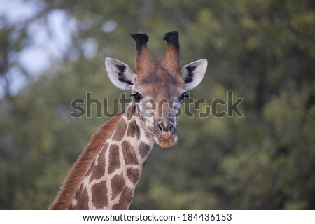 A giraffe portrait from the Kruger National Park, South Africa - stock photo