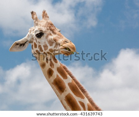 A giraffe silhouetted against a cloudy blue sky / African Giraffe / Giraffe silhouetted against a cloudy blue sky  - stock photo