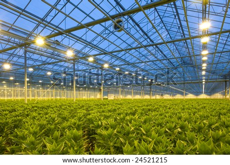 A glasshouse growing endless rows of lilies at dusk - stock photo