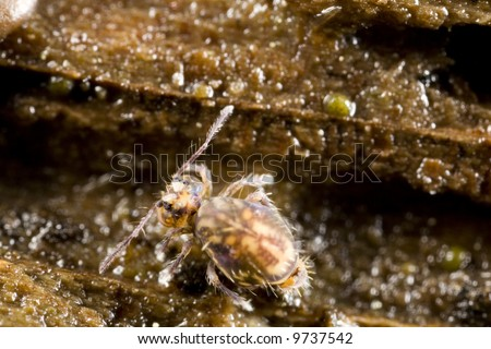 A globular springtail.  Springtails are essential for the creation of soil. - stock photo