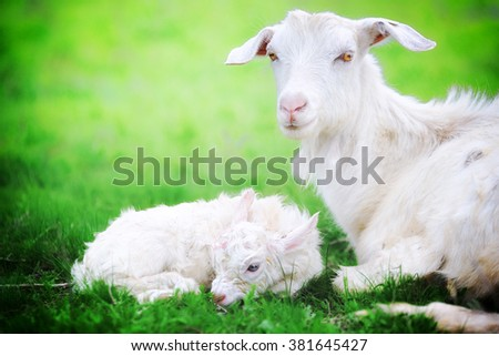 A goat and  just born yeanling in spring field - stock photo
