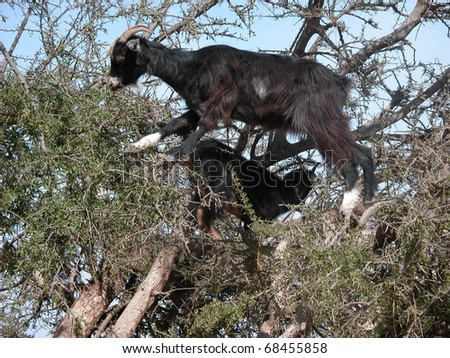 A goat in a Aganen tree, South Morocco - stock photo