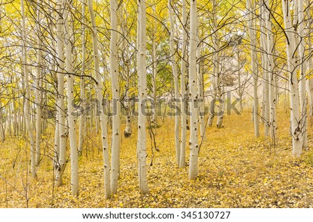 A golden carpet of leaves below the white trunks of quaking aspen trees  in Wilkerson Pass, Colorado. - stock photo