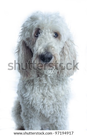 A Golden Doodle adult dog poses against a white backdrop with head directed to the camera, but eyes looking clearly to the right. - stock photo