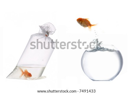 A golden fish leaping out of the water - stock photo