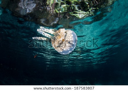 A golden jellyfish (Mastigias papua) swims just under the surface in Palau's lagoon where it can capture plenty of sunlight. The jellyfish has photosynthetic zooxanthellae within its tissues. - stock photo