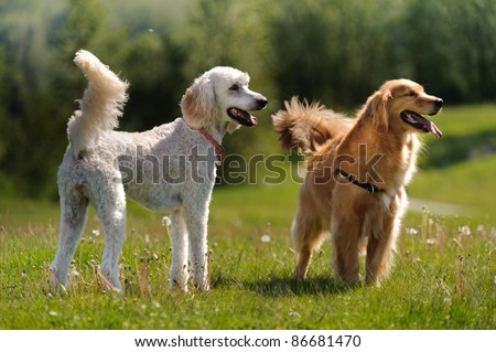 A golden retriever and a golden doodle dog stand in a grass field and look to the right of the camera. There are dandelions growing in the field. - stock photo