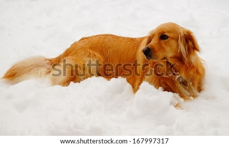 A Golden Retriever dog rests after playing in the snow.  - stock photo