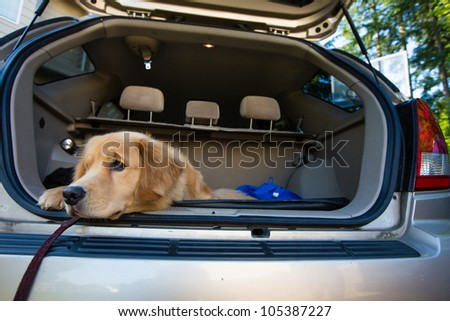 A golden retriever dog waiting patiently in the back of a car for a road trip - stock photo