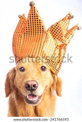 A golden retriever dog wearing a jester hat - stock photo