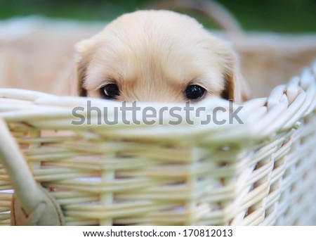 A golden retriever puppy is hiding in a basket. - stock photo