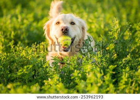 A Golden Retrievers returning with the tennis ball she just found in the fields. - stock photo