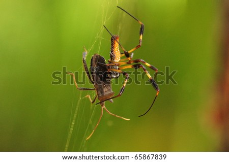 a golden silk orb-weaver Spider (Nephila clavipes) hunting its prey - stock photo