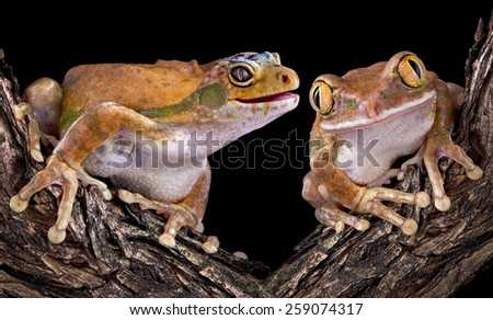 A golden tree frog has the head of a leopard gecko and his friend can't believe it. - stock photo