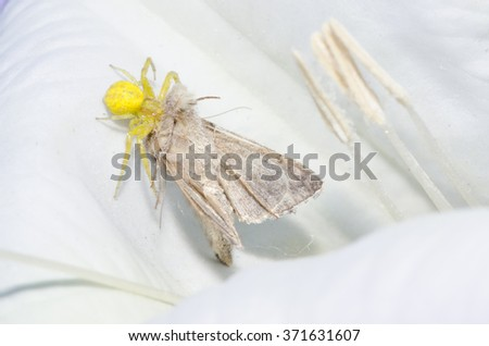 A goldenrod crab spider with it's prey (moth) in a datura flower.   - stock photo
