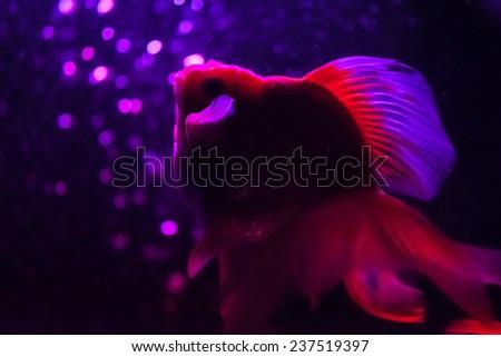 A goldfish on black background - stock photo